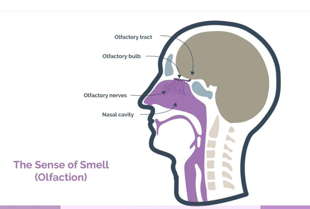 the sense og smell
